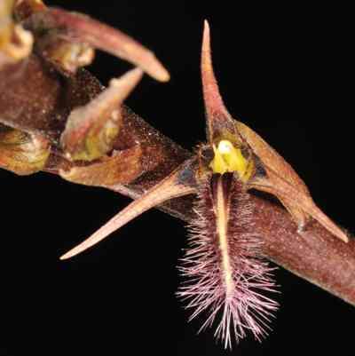 Bulbophyllum penicillium, C.S.P.Parish & Rchb.f