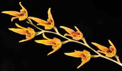 Bulbophyllum reptans, Lindl