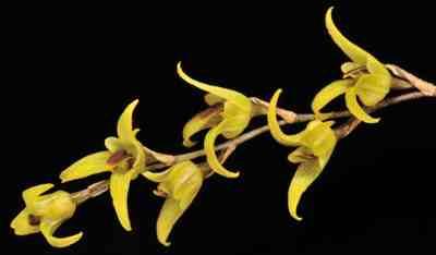 Bulbophyllum reptans var. sub-racemosa, Hook