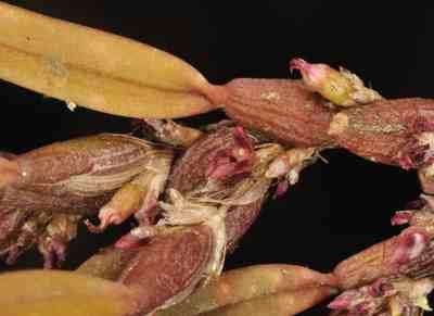 Bulbophyllum tortuosum, (Blume) Lindl