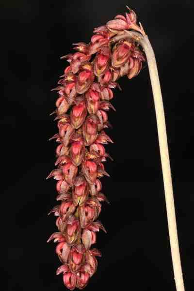 Bulbophyllum triste, Reichb.