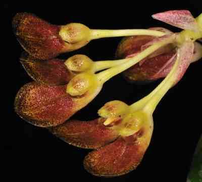 Cirrhopetalum bootanense, Hook