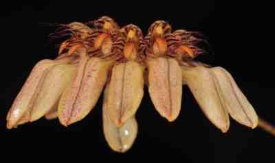 Cirrhopetalum sikkimense, King & Pantl.(Bulbophyllum roxburghii, (Lindl.) Rchb.f