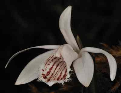 Coelogyne humilis, Lindl (Pleione humilis (Sm.) D.Don