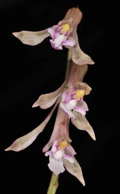 Cremastra wallichiana, Lindl. (Cremastra appendiculata, (D Don) Makino.)