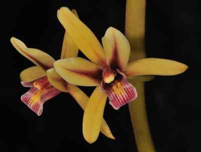 Cymbidium aloifolium, (L.) Swartz