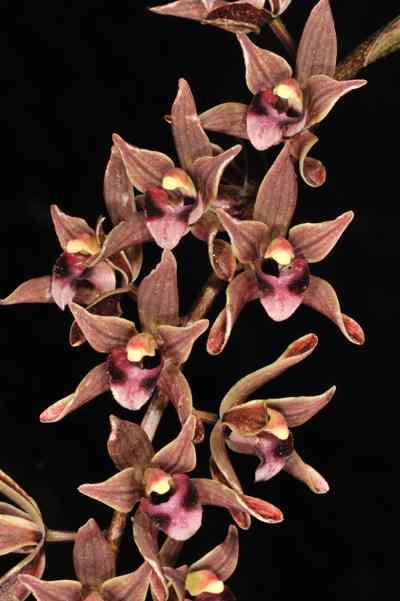 Cymbidium devonianum, Paxton.