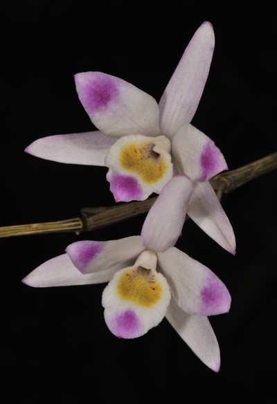 Dendrobium amoenum, Wall