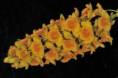 Dendrobium densiflorum, Wall