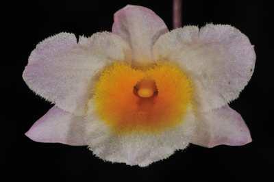 Dendrobium farmeri, Paxt