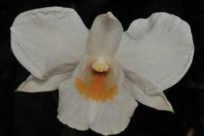 Dendrobium formosum, Roxb