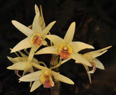 Dendrobium heterocarpum, Wall