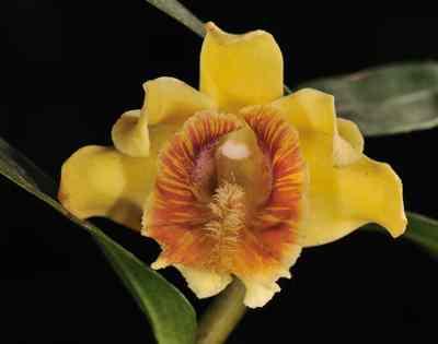 Dendrobium ruckeri, Lindl.