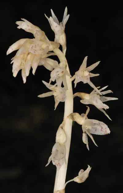 Epipogum nutans, Reichb (Epipogium roseum (D. Don) Lindl)