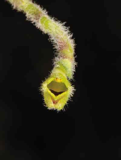Eria dasyphylla, Par and Reichb (Trichotosia dasyphylla, E C Parish & Rchb)