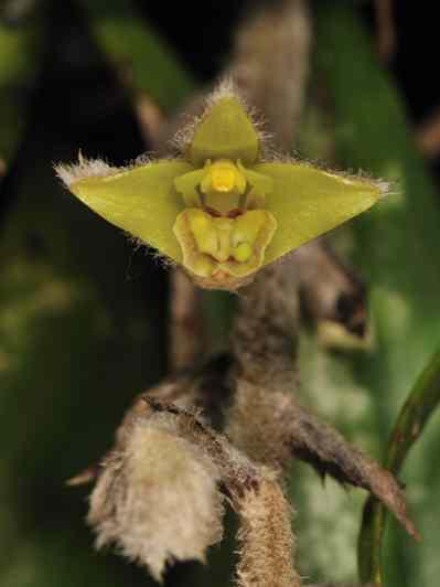 Eria flava, Lindl (Eria lasiopetala (Willd))