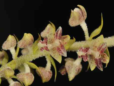 Eria paniculata, Lindl (Mycaranthes floribunda (D.Don)