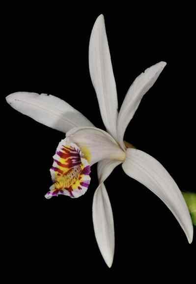 Pleione maculata, (Lindl), Lindl