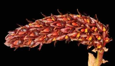 Bulbophyllum careyanum, (Hook.) Spreng.