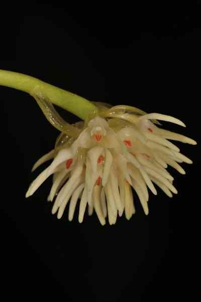 Bulbophyllum odoratissimum, (Sm.) Lindl. ex Wall.