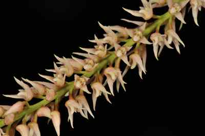 Bulbophyllum parviflorum, C. S. P. Parish & Rchb.f.