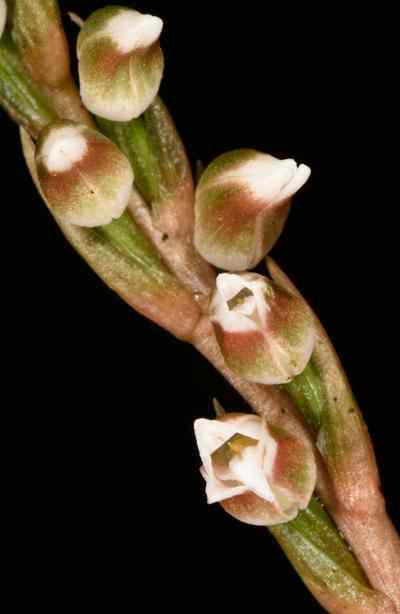 Goodyera vittata (Lindl.) Benth. ex Hook.f