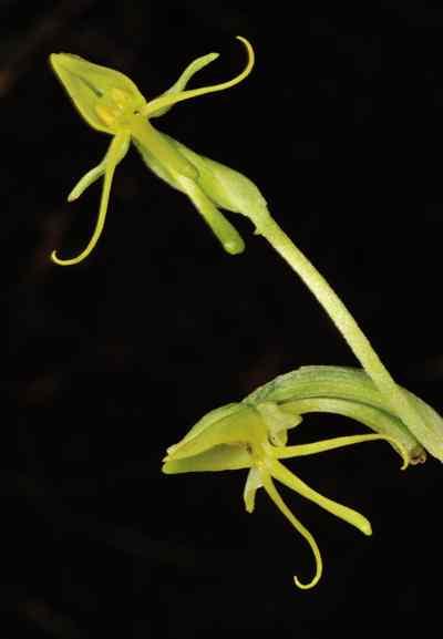Habenaria aitchisonii Rchb.f