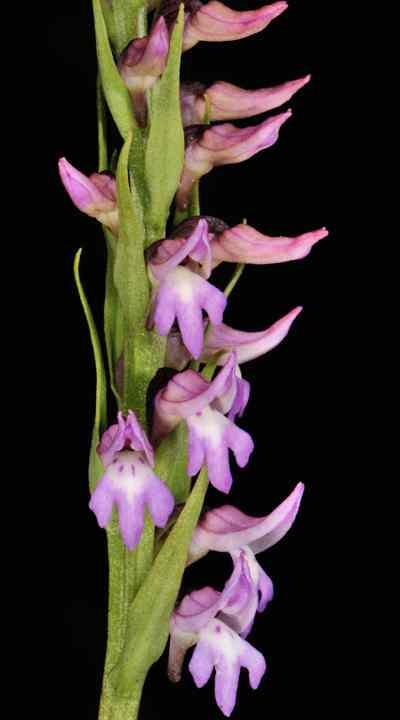 Neottianthe cucullata var. calcicola (W.W.Sm.) Soó.
