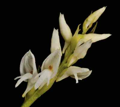 Neottianthe secundiflora (Kraenzl.) Schltr. – The Alba form (New Report)