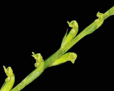 Platanthera juncea (King & Pantl.) Kraenzl.