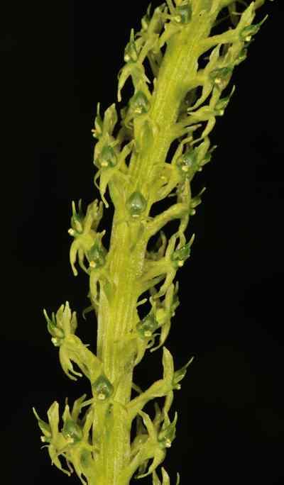 Malaxis muscifera (Lindl.) Kuntze, Revis.