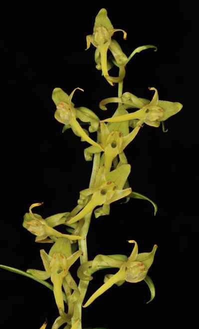 Platanthera sikkimensis (Hook.f.) Kraenzl.