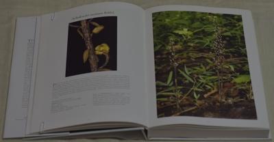 Aphyllorchis montana Rchb.f
