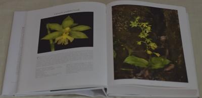 Calanthe griffithii Lindl.