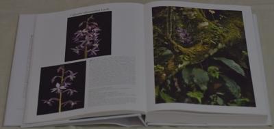 Calanthe plantaginea Lindl.