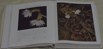Cheirostylis griffithii Lindl.
