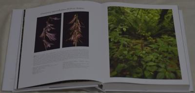 Cremastra appendiculata (D.Don) Makino