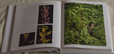 Crepidium purpureum (Lindl.) Szlach.