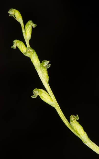 Herminium biporosum Maxim.