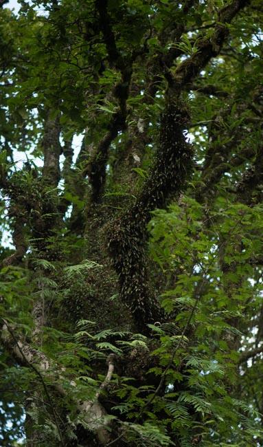 Bulbophyllum raskotii J.J.Verma., Schuit. & de Vogel