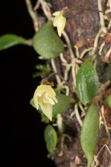 Bulbophyllum hainanense