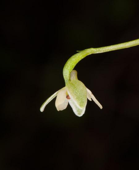Herminium albovirens