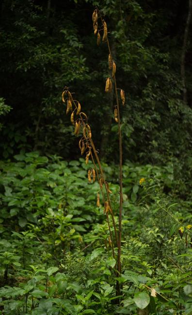 Cyrtosia sp.