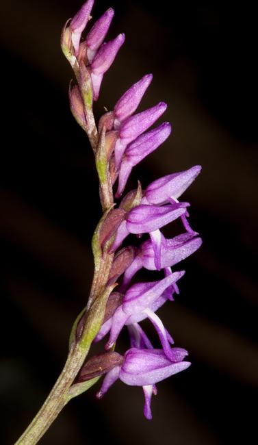 Ponerorchis sp.