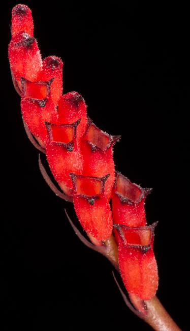 Cryptochilus sp.