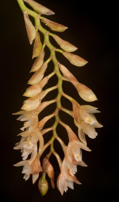 Pholidota sp.
