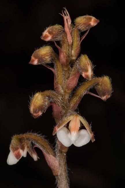 Hetaeria sp.