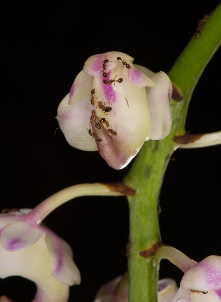 Aerides sp. with ants.