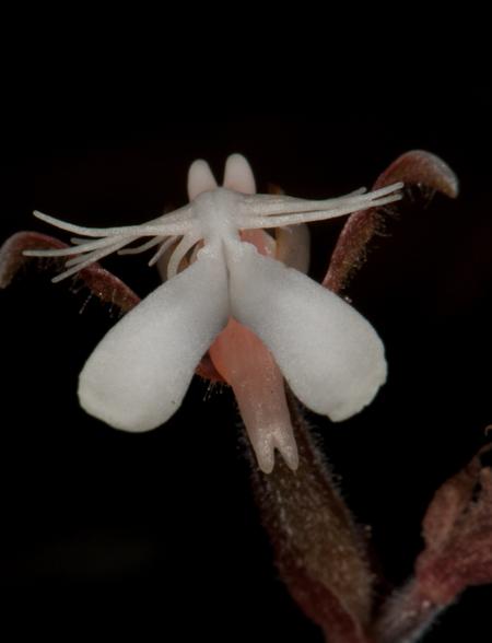 Anoectochilus sp.
