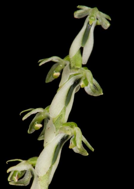 Neottia sp.